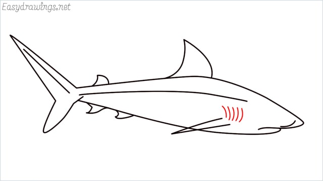 how to draw a baby great white shark step (8)