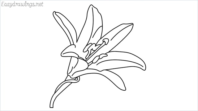 how to draw a lily drawing step by step for beginners
