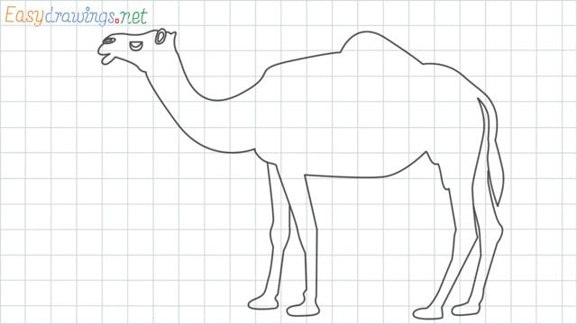 Camel grid line drawing