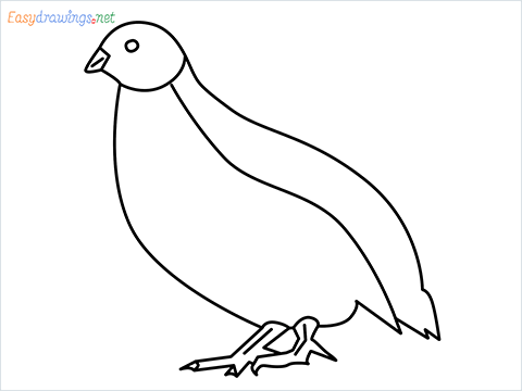 how to draw a quail step by step for beginners