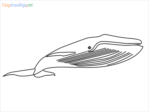 How to draw a Blue whale step by step for beginners